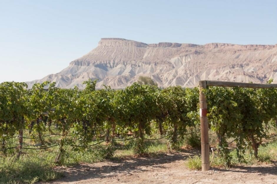 Green vines of a wine vineyard near Grand Junction, CO with the Colorado National Monument in the background